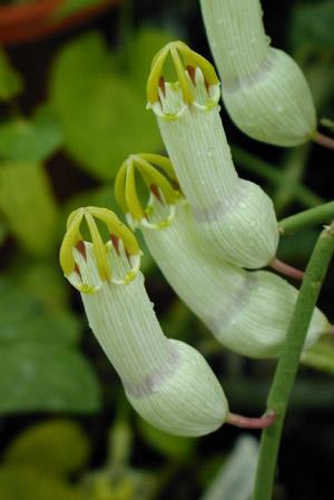 Ceropegia ampliata flower