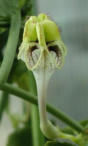Ceropegia  'Hamlet' flower
