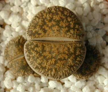Lithops lesliei Kimberley form