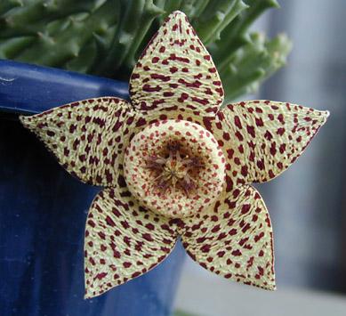 Stapelia variegata flower