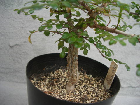 Operculicarya pachypus