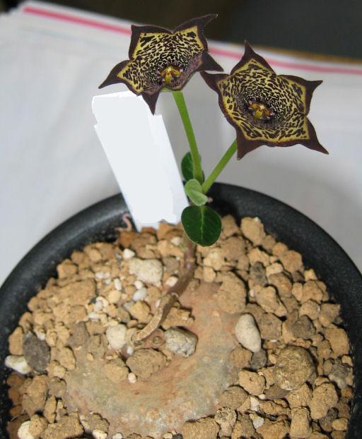 Brachystelma buchananii flower