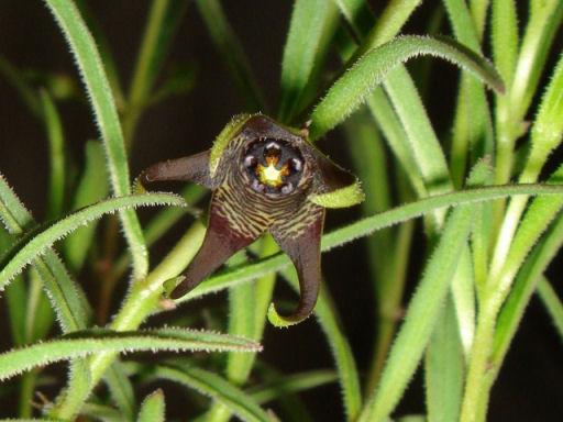 Brachystelma decipiens flower