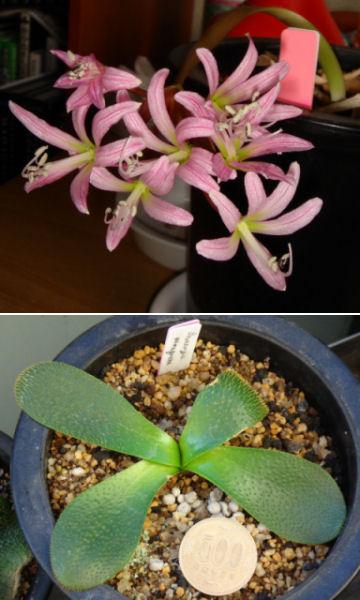 Brunsvigia namaquana の写真