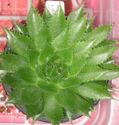 Haworthia decipiens E.. steytlvile JDV87/169