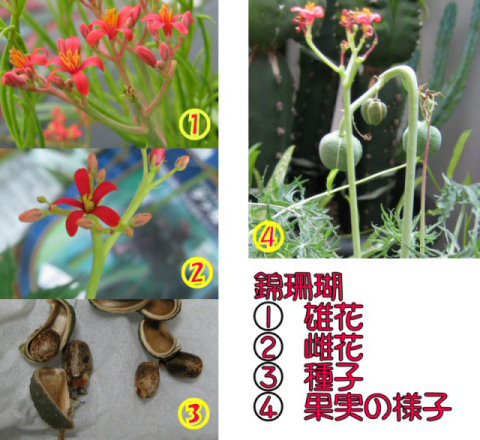 Jatropha cathartica flowerの写真