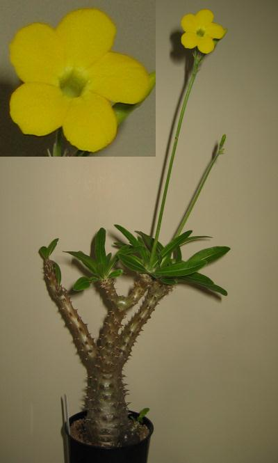 Pachypodium bicolor