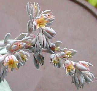 Echeveria sp. SIMONOASA flower