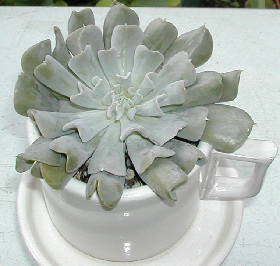 Echeveria cv. Topsy Turvy