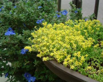 Sedum oryzifolium