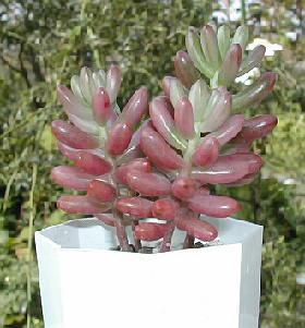Sedum rubrotinctum cv.'Aurora'