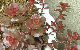 Sedum spurium cv. Dragons Blood