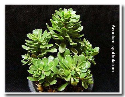 Aeonium spathulatum の写真