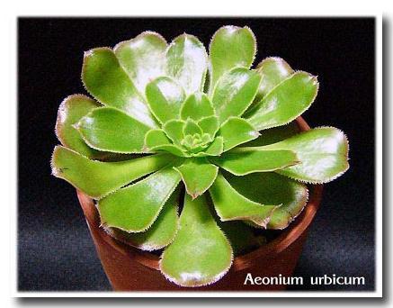 Aeonium urbicum の写真