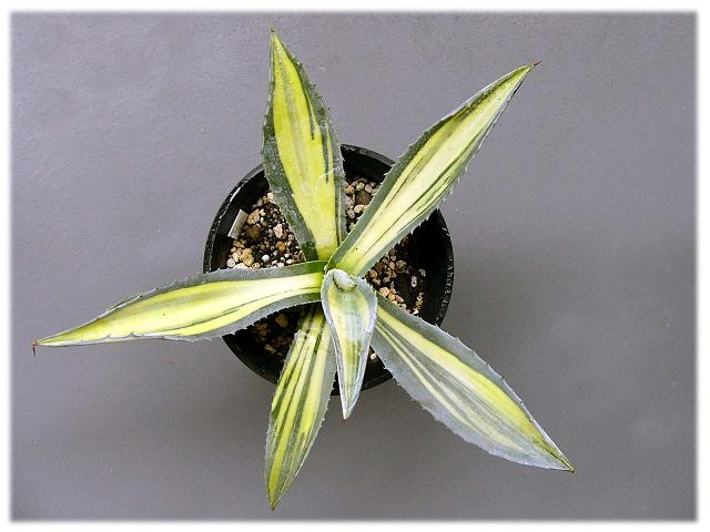 Agave americana var. mediopicta 白中斑