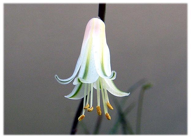 Aloe albiflora flower