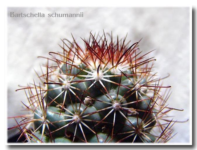 Bartschella schumannii