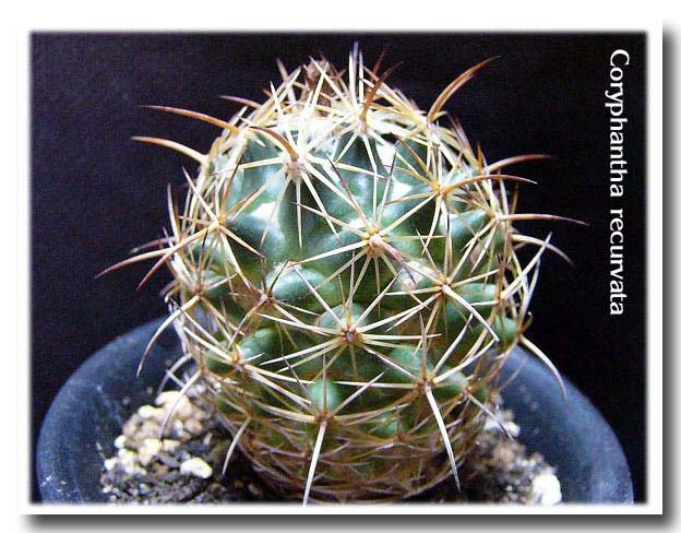 Coryphantha recurvata