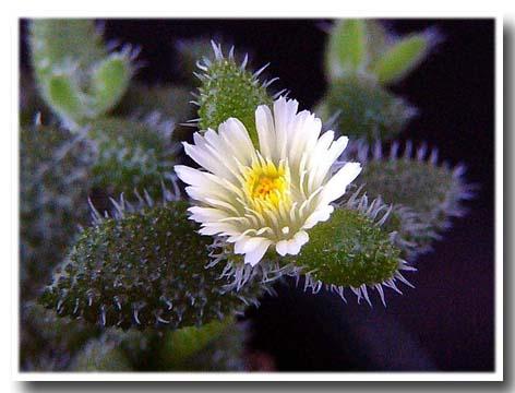 Delosperma echinatum flower