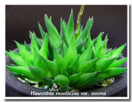 Haworthia monticola var. asema