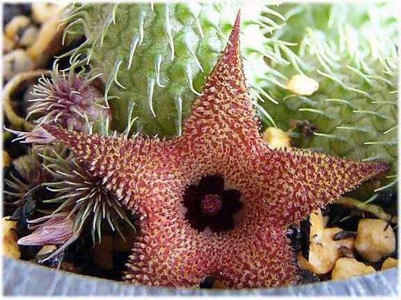 Huernia pillansii flower