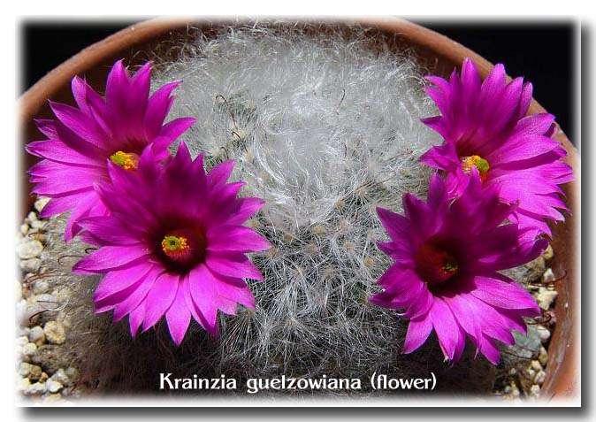Krainzia guelzowiana flower