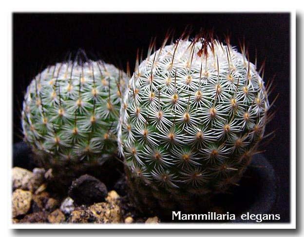 Mammillaria elegans