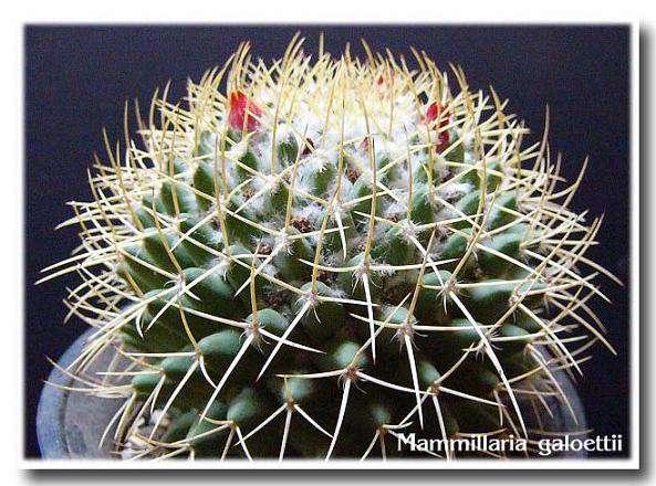 Mammillaria galoettii