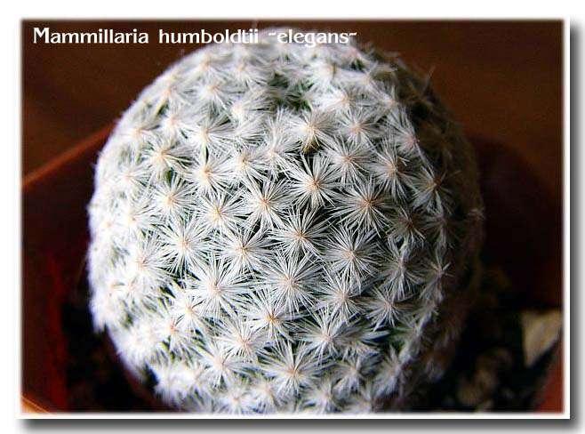 Mammillaria humboldtii 'Elegans'