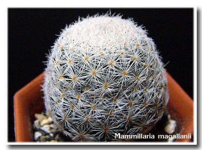 Mammillaria magallanii