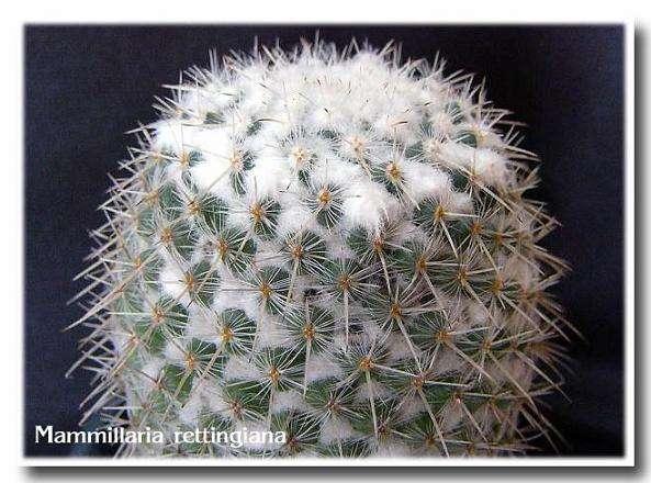 Mammillaria rettingiana