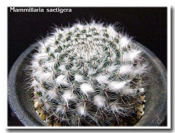 Mammillaria saetigera