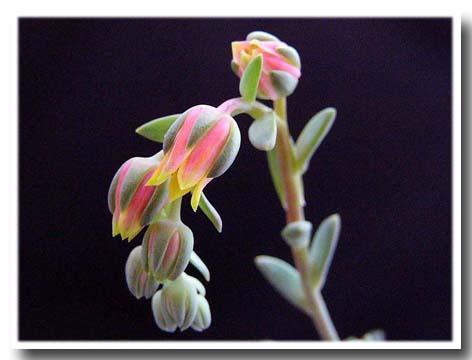 Pachyphytum longifolium flower
