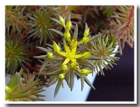Sedum polytricoides flower