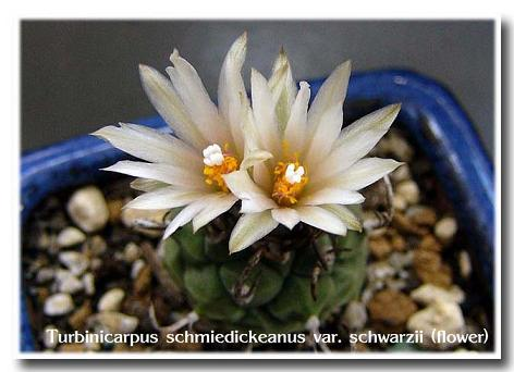 Turbinicarpus schmiedickeanus var. schwarzii flower
