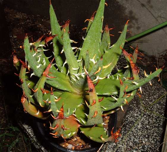 Aloe melanacantha