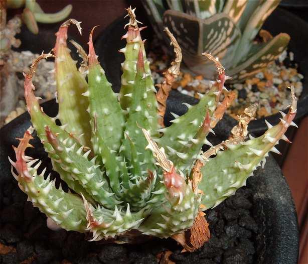 Aloe pratensis 強ノギタイプ
