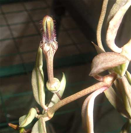 Ceropegia africana flower