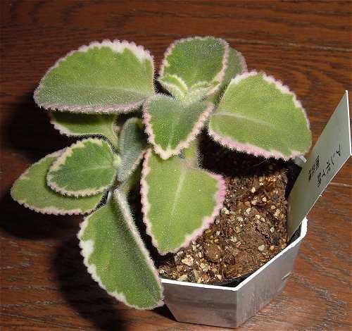 Coleus amboinicus variegata