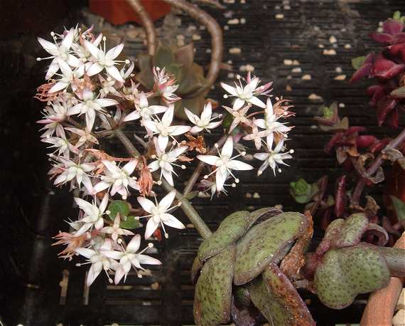 Crassula multicava flower