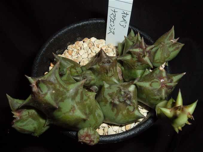 Orbea namaquensis