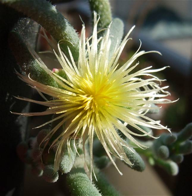 Phyllobolus tenuiflorus flower
