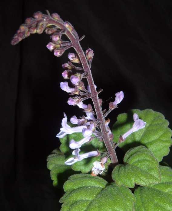 Plectranthus ernstii flower