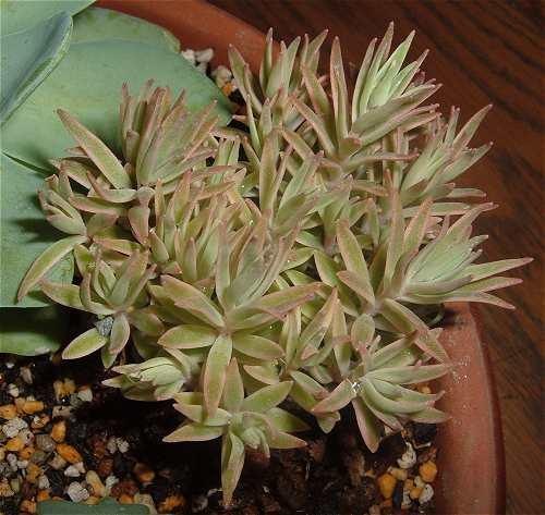 Sedum lineare f.variegatum