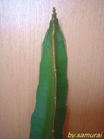 Hylocereus guatemalensis