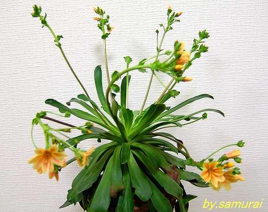 Lewisia cotyledon flower