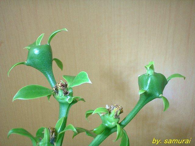 Pereskia nemorosa fruits