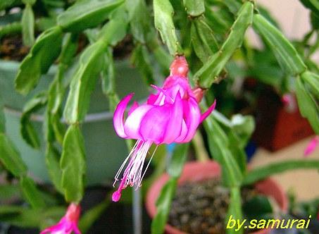 Schlumbergera opuntioides 'Hades' cv. 'Opal' 花