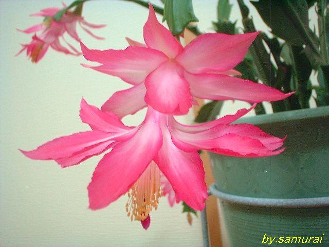 Schlumbergera orssichiana 'Madam Butterfly' flower