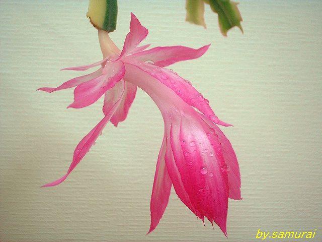 Schlumbergera orssichiana 'Madam Butterfly' 斑入り品種の開花直前の花
